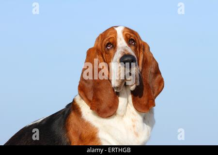 Basset Hound Portrait - Stock Photo