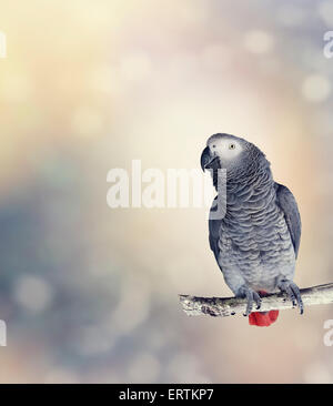 African Grey Parrot Perches On A Branch - Stock Photo