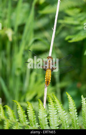 Broad-bodied chaser dragonfly (Libellula depressa). Adult female - Stock Photo