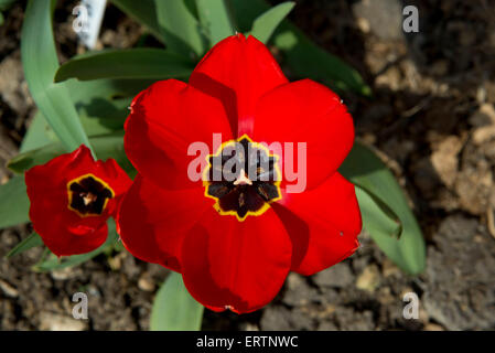 A very striking open tulip flower with deep red petals and a dark black centre with a yellow margin in a Berkshire - Stock Photo