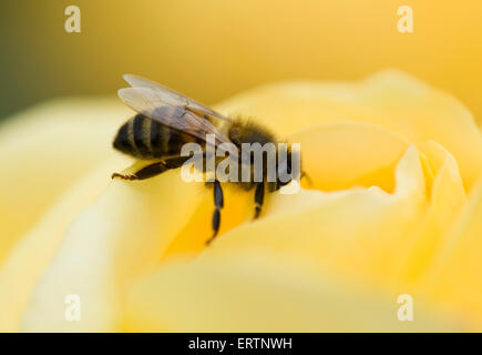 A honey bee, Apis mellifera, on a yellow rose bloom 'Arthur Bell' on a cool summer day - Stock Photo