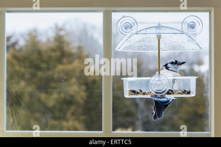 Large blue jay bird in window attached birdfeeder on a wet cold day in winter, USA - Stock Photo