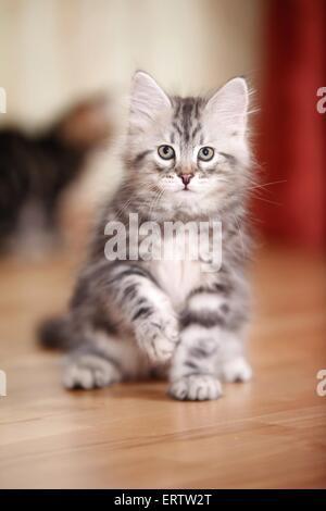 sitting Siberian Forest Kitten - Stock Photo