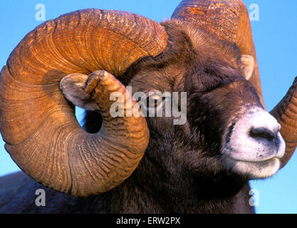 Portrait of Bighorn Ram, full curl, portrait closeup - Stock Photo