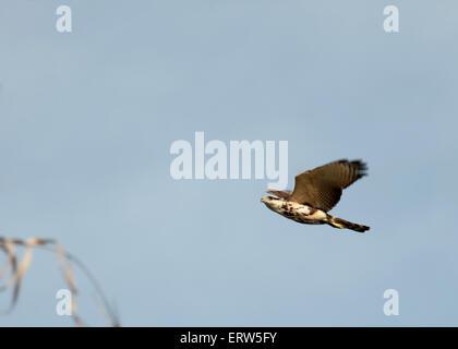 Juvenile Laughing Falcon - Stock Photo