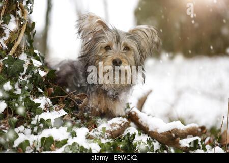 Terrier-Mongrel in snow - Stock Photo