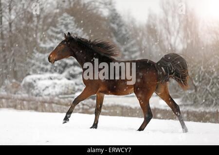 running horse in snow - Stock Photo