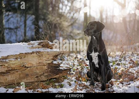 Labrador Dalmatian Mongrel Stock Photo Royalty Free Image