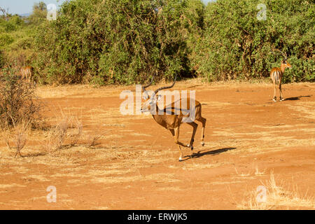 Impala (Aepyceros melampus) male running - Stock Photo