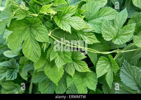 Close-up of hop vine,  new leaves 'Humulus lupulus'. - Stock Photo
