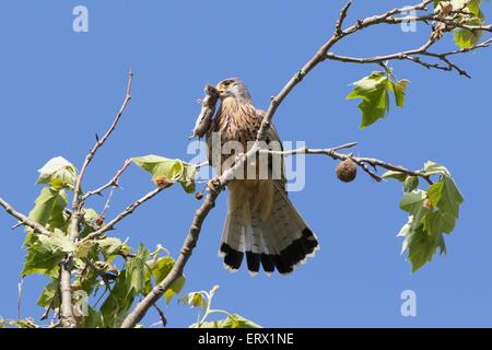 Common Kestrel (Falco tinnunculus) with captured Vole (Microtus arvalis), Hesse, Germany - Stock Photo