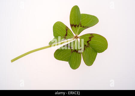 Four leaf clover on a white background - Stock Photo
