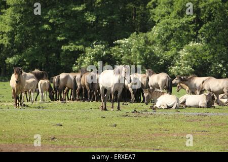 Dulmen wild horses - Stock Photo