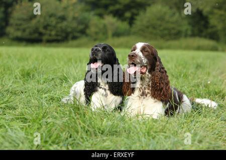 2 English Springer Spaniels - Stock Photo