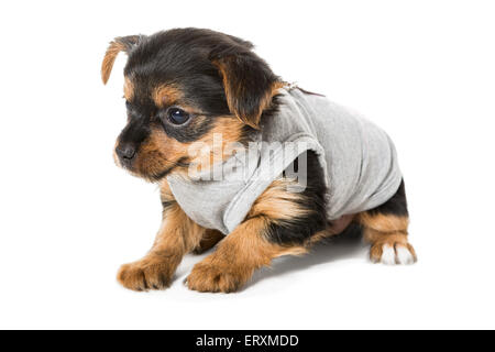 Small puppy Yorkshire Terrier, isolated on white - Stock Photo