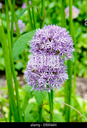 Giant Onion (Allium Giganteum) blooming in a garden on the green background - Stock Photo