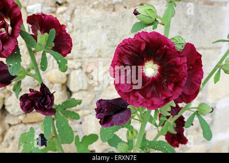 burgundy hollyhock close up - Stock Photo