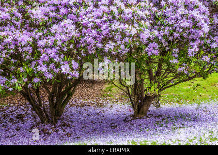 Rhododendrons in the quarry in the woods of the Bowood Estate in Wiltshire. - Stock Photo