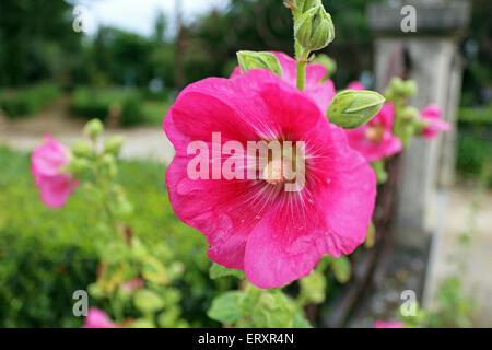 pink hollyhock flower - Stock Photo