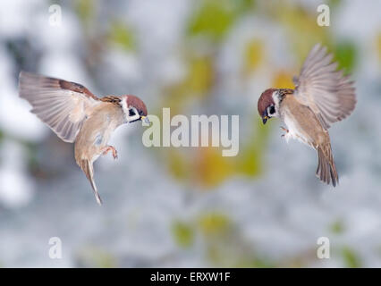 Passerine battle. Eurasian Tree Sparrows (Passer Montanus) against the background with first snow - Stock Photo