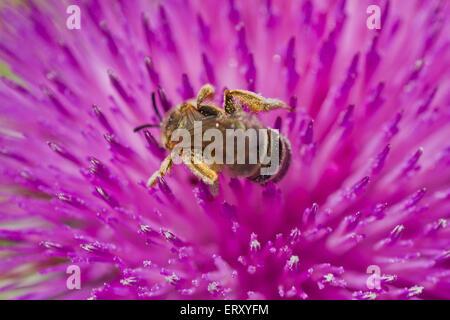 Bee feeding on a purple thistle flower - Stock Photo