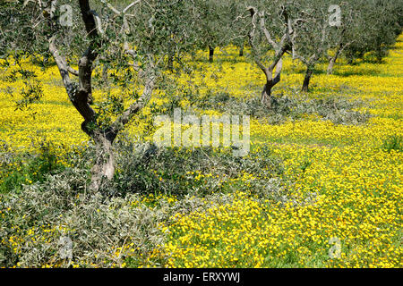 Olive grove in Puglia after pruning - Stock Photo