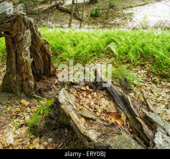 Sunlight glances off growth of spring green ferns in forest surrounding fallen leaves logs tree stumps Sunny Ridge - Stock Photo