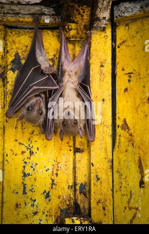 Two Egyptian fruit bats hanging out, London, UK - Stock Photo