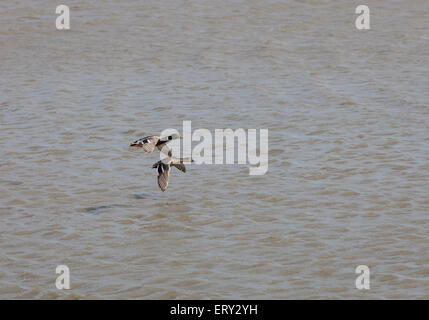 A pair of Mallard ducks flying low over water in Norfolk, England - Stock Photo