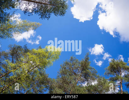 Tree tops against blue sky and white clouds - Stock Photo
