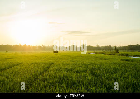 paddy field in morning east java, indonesia - Stock Photo