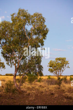 Eucalyptus Tree Gum Trees In The Australian Outback