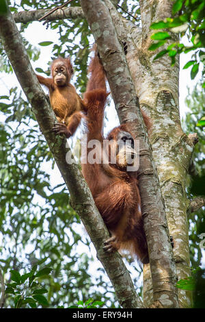 Female orangutan with a baby hanging on a tree in Gunung Leuser National Park, Sumatra, Indonesia - Stock Photo