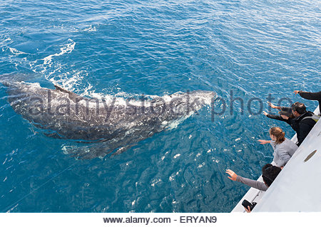 People on boat watching Humpback whales (Megaptera novaeangliae), Hervey Bay, Queensland, Australia, - Stock Photo