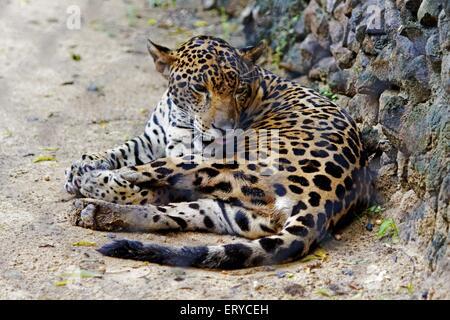 Leopard Panthera pardus ; Jaguar panther ; Alipore Zoo ; Calcutta Kolkata ; West Bengal ; India - Stock Photo