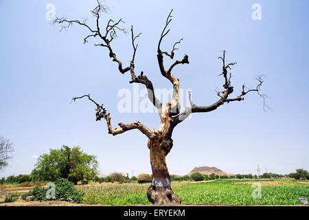 Dried tree ; Pune ; Maharashtra ; India - Stock Photo