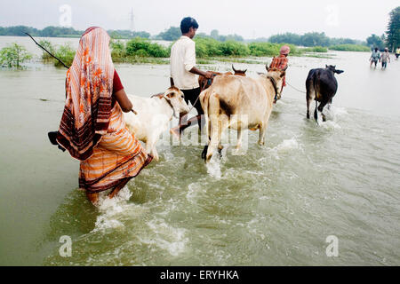Kosi river flood in year 2008 which mostly made suffered below poverty line people in Purniya district ; Bihar ; - Stock Photo