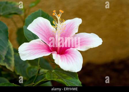 Single jaswand ; hibiscus flower - Stock Photo
