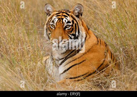 Tiger panthera tigris tigris sitting in dry grasses ; Ranthambore national park ; Rajasthan ; India - Stock Photo