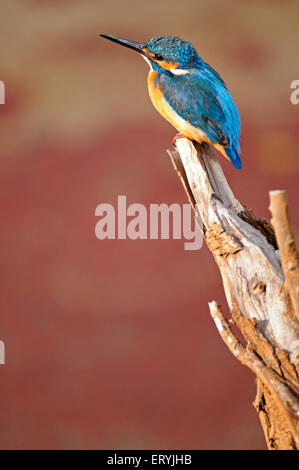 Common kingfisher alcedo atthis eurasian kingfisher river kingfisher sitting branch Ranthambore national park - Stock Photo