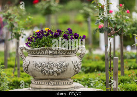 Bunch of pansy in a park with roses on background - Stock Photo