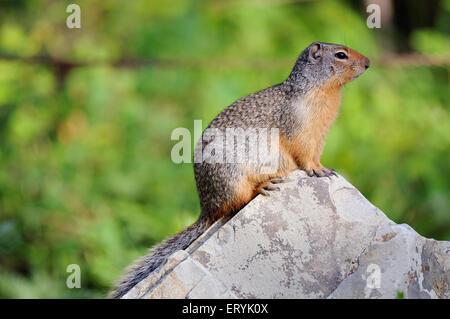 Columbian ground squirrel spermophilus columbianus ; Glacier national park ; Montana ; USA United States of America - Stock Photo