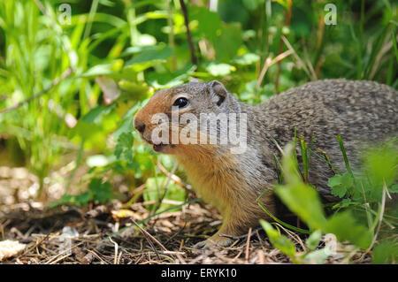 Columbian ground squirrel spermophilus columbianus in Glacier national park ; USA United States of America - Stock Photo