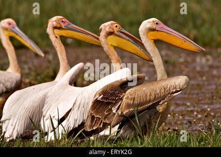 White pelican pelecanus onocrotalus eastern great white pelican Keola Deo Ghana national park Bharatpur - Stock Photo