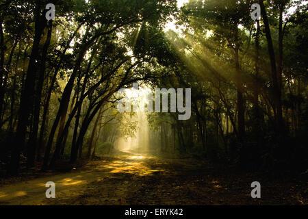 Sunrays filtering through sal forests ; Corbett national park ; Uttaranchal Uttarakhand ; India - Stock Photo