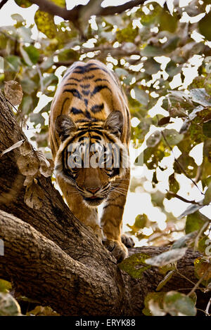 Tiger on top of tree ; Ranthambore national park ; Rajasthan ; India ; Asia - Stock Photo