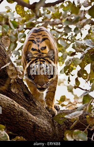 Tiger panthera tigris tigris on top of tree ; Ranthambore national park ; Rajasthan ; India - Stock Photo