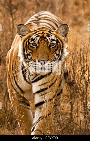 Tiger panthera tigris tigris stalking in grasses of deciduous forest ; Ranthambore national park ; Rajasthan ; India - Stock Photo