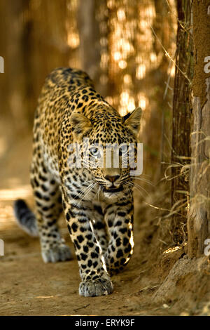 Leopard cub panthera pardus ; Ranthambore National Park; Rajasthan ; India - Stock Photo