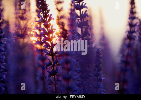 Dark woodland sage in sunset bokeh - Stock Photo